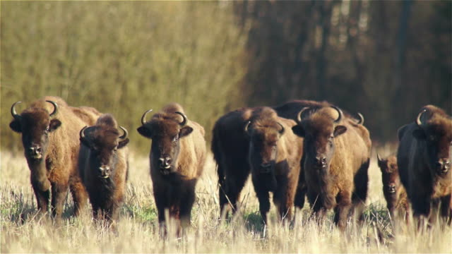 herd pf biosons - american bison stock videos & royalty-free footage