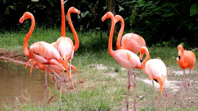 herd pink flamingo