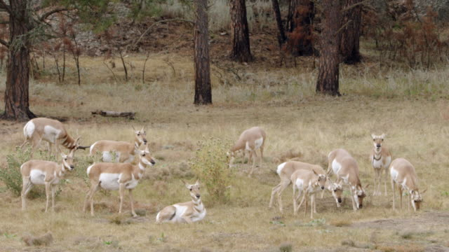 MS PAN Herd Pronghorn grazing in landscape / Yellowstone National Park, Wyoming, United States