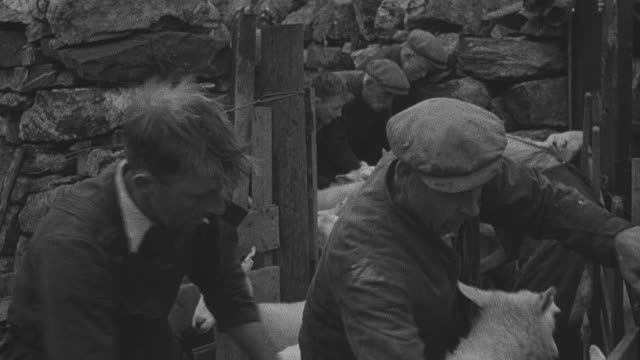 1944 montage herder guiding sheep through pen gate using huts and calls / achriesgill, scotland, united kingdom - achriesgill stock videos & royalty-free footage