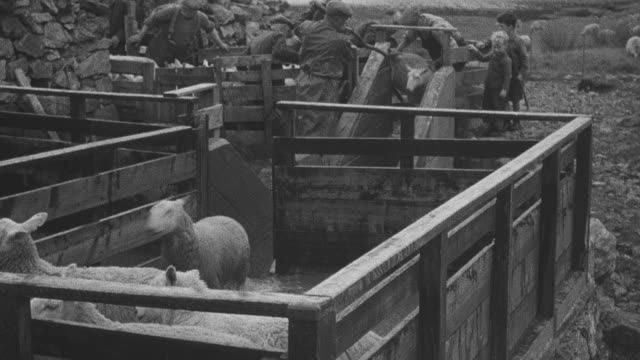 1944 montage herder guiding sheep through trough, crofter herding sheep into pen with sheepdog watching on, sheep roaming in open pasture / achriesgill, scotland, united kingdom - achriesgill stock videos & royalty-free footage