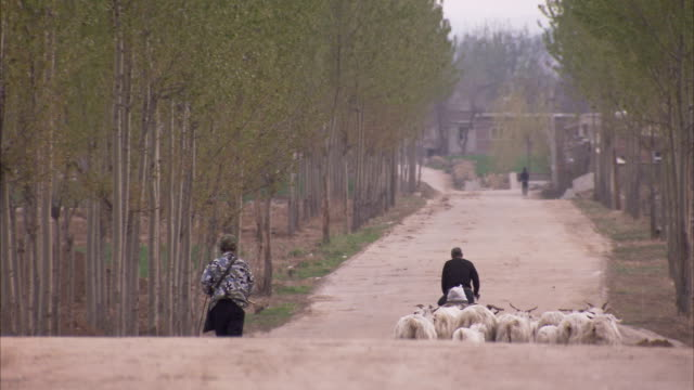 a herder with a staff walks behind livestock on a rural road in china. available in hd. - kletterausrüstung stock-videos und b-roll-filmmaterial