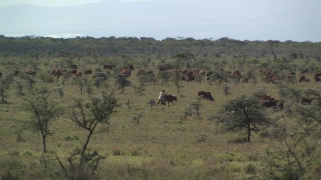 ws, herder with cattle in savanna, laikipia, kenya - herder stock videos & royalty-free footage