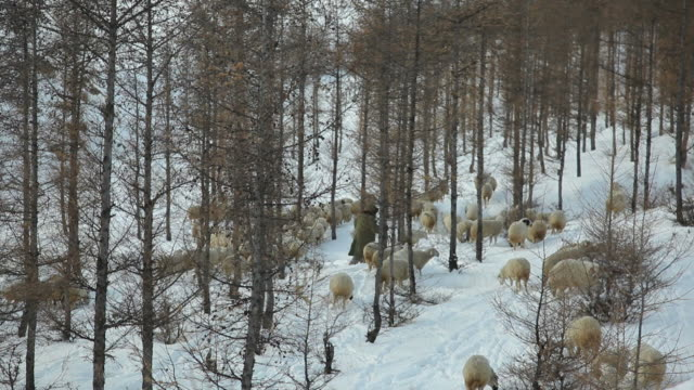 ws herder with flock of sheep on snowy hill / inner mongolia, china - herder stock videos & royalty-free footage
