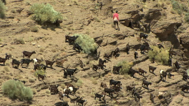 ws ha herder with goats scampering down rocky hill, ait barka, morocco - cattle stock videos & royalty-free footage