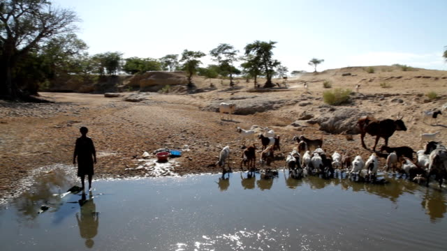 stockvideo's en b-roll-footage met pov herder with his cattle by the water - namibië