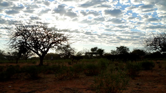 stockvideo's en b-roll-footage met ws herder with his cattle in africa - namibië