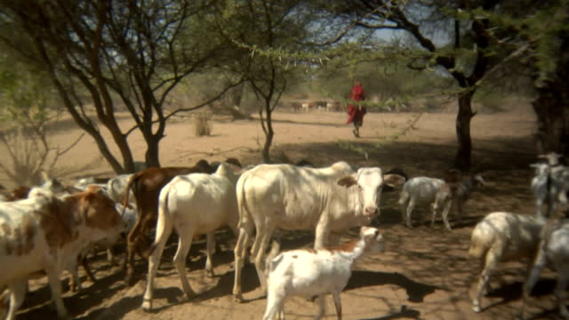herding cattle with audio - cattle stock videos & royalty-free footage