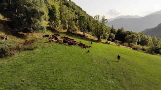 Herding goats in Spain, aerial