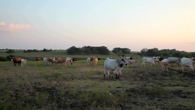 vídeos de stock, filmes e b-roll de arrebanhar longhorns - rancho