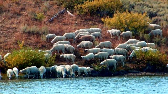 herding on open range wild west 1 sheep steens mountain near malhuer wildlife refuge 1 - wildlife conservation stock videos & royalty-free footage