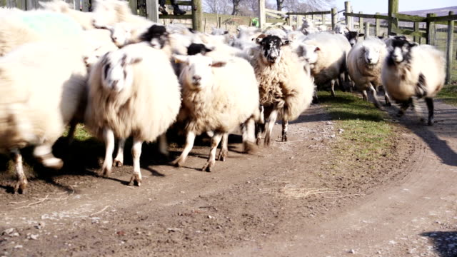 herding sheep into a pen - sheepdog stock videos & royalty-free footage