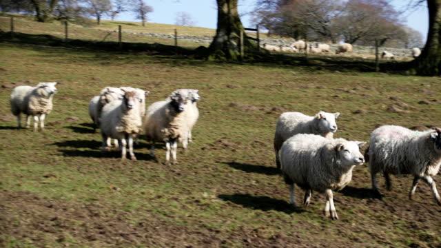 Arrear oveja