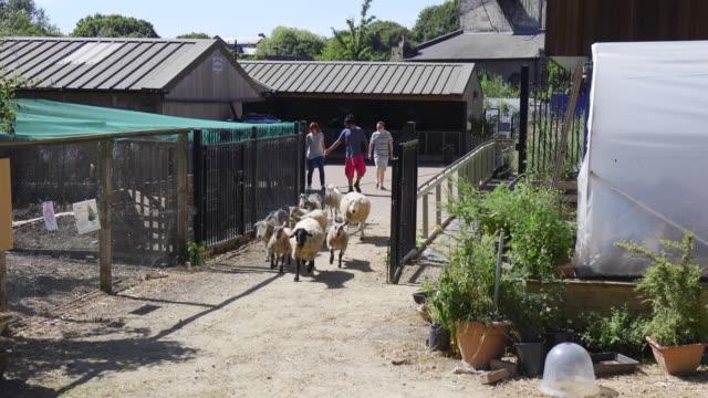herding up the sheep - organic farm stock videos & royalty-free footage