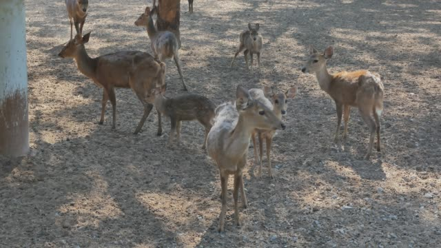 Besättningar av rådjur i djur parken väntar på mat från turister.