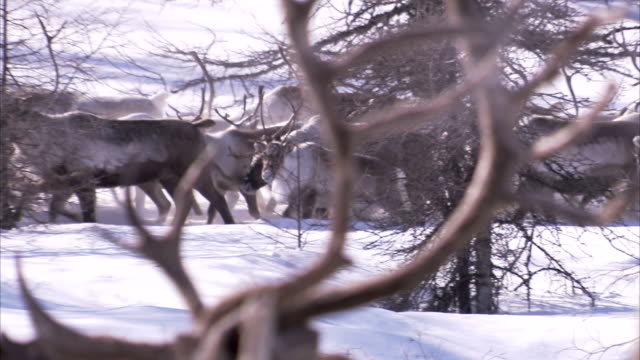 herds of reindeer in the snow. available in hd - herding stock-videos und b-roll-filmmaterial