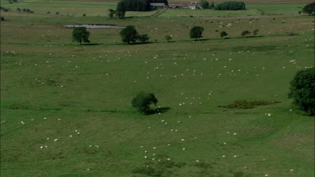 herds of sheep graze on vast green farmlands available in hd. - ländliches motiv stock-videos und b-roll-filmmaterial