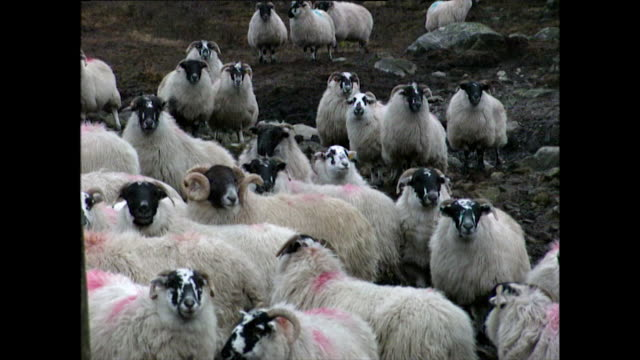 herds of sheep living in scotland; 1996 - animal behaviour stock videos & royalty-free footage