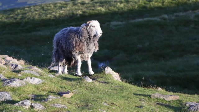 herdwick sheep on red screes in the lake district, uk. - hill stock videos & royalty-free footage