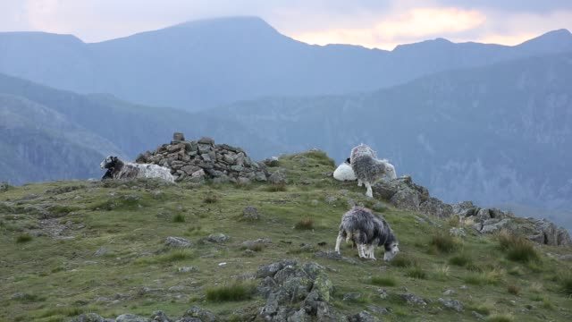 herdwick sheep on red screes in the lake district, uk. - 抜け殻点の映像素材/bロール