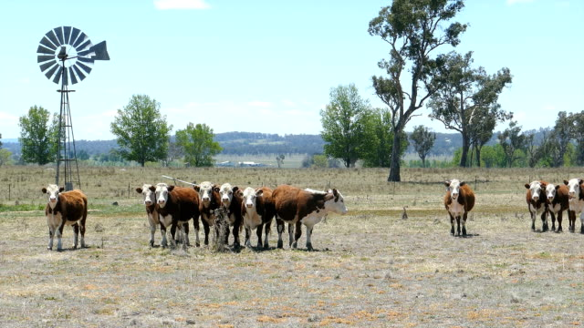 hereford-rind und windmühle in dry paddock, australien - rind stock-videos und b-roll-filmmaterial