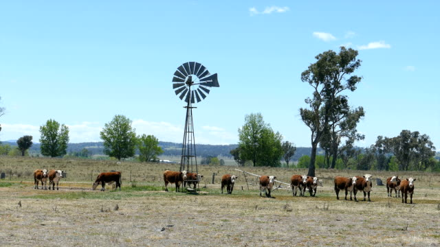 Hereford Cattle and Windmill in Dry Paddock, Australia
