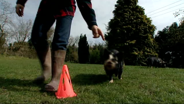 herefordshire piglet learns sheepdog commands; england: herefordshire: ext sue the piglet along with her owner wendy scudamore close shot of a pig... - herefordshire bildbanksvideor och videomaterial från bakom kulisserna