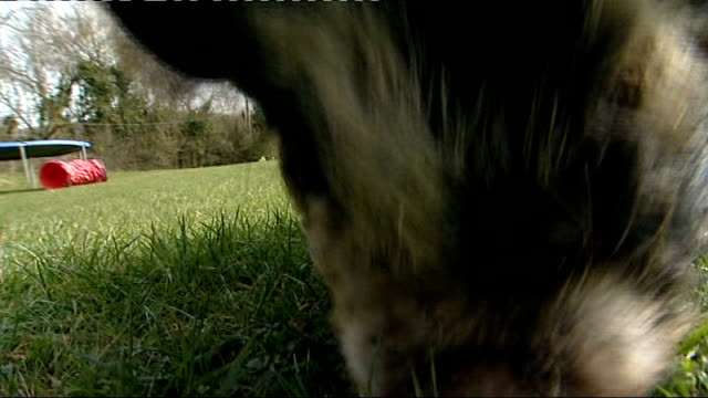 Herefordshire piglet learns sheepdog commands ENGLAND Herefordshire kentchurch Barton Hill Animal Centre EXT Good shots Close up piglet 'Bella' /...