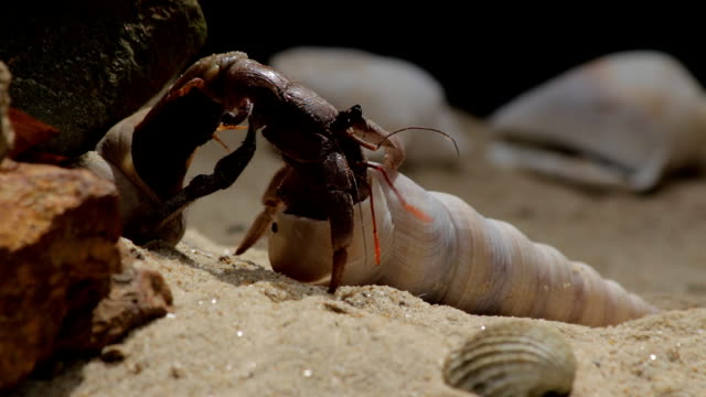 stockvideo's en b-roll-footage met hermit crab changing shell:close-up - schild lichaamsdeel van dieren
