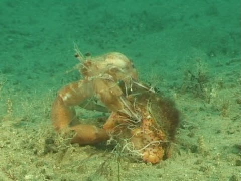 ms hermit crab climbing back into shell. channel island, uk - invertebrate stock videos & royalty-free footage