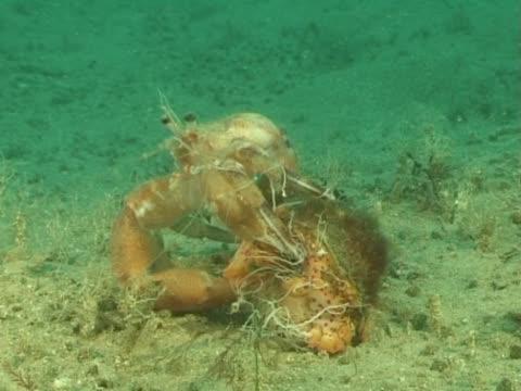 vídeos de stock e filmes b-roll de ms hermit crab climbing back into shell. channel island, uk - ilhas do canal da mancha