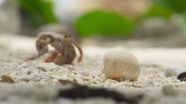 hermit crab climbs into new shell on beach, belize - animal shell stock videos & royalty-free footage