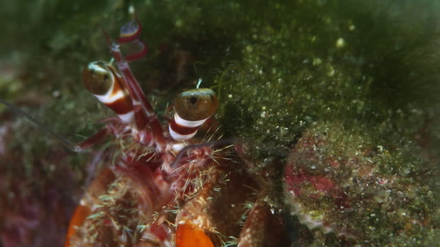 hermit crab - close up - batangas province stock videos and b-roll footage