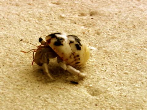 hermit crab, coenobita clypeatus - crab stock videos and b-roll footage