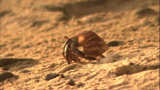 a hermit crab crawls across a sandy beach at chichi-jima island in japan. - hermit crab stock videos & royalty-free footage