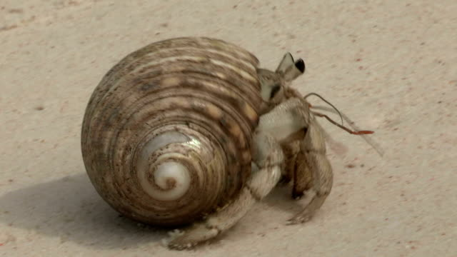 a hermit crab crawls across the sand. - hermit crab stock videos & royalty-free footage