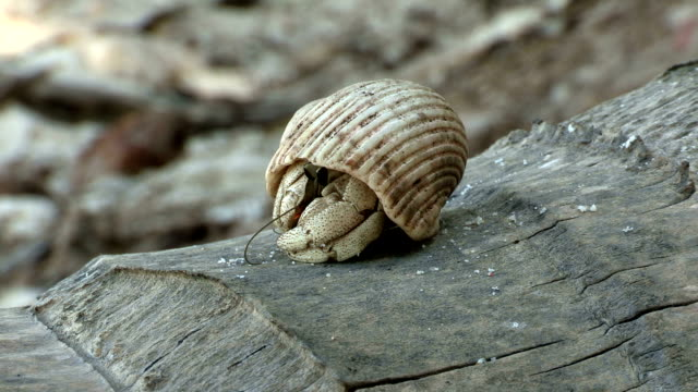 a hermit crab emerges from its shell and crawls away. - hermit crab stock videos & royalty-free footage