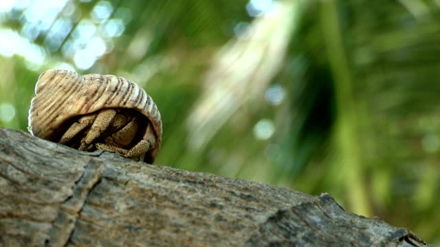 a hermit crab emerges from its shell and walks along a tree branch. - hermit crab stock videos & royalty-free footage
