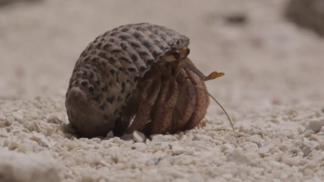 hermit crab emerges from shell on beach, belize - animal shell stock videos & royalty-free footage