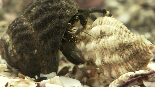 hermit crab exchanging shell - bullet stock videos & royalty-free footage