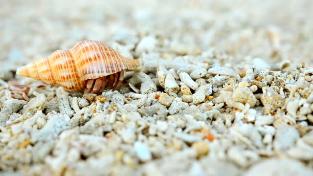 hermit crab feel safe and walk again - hermit crab stock videos & royalty-free footage