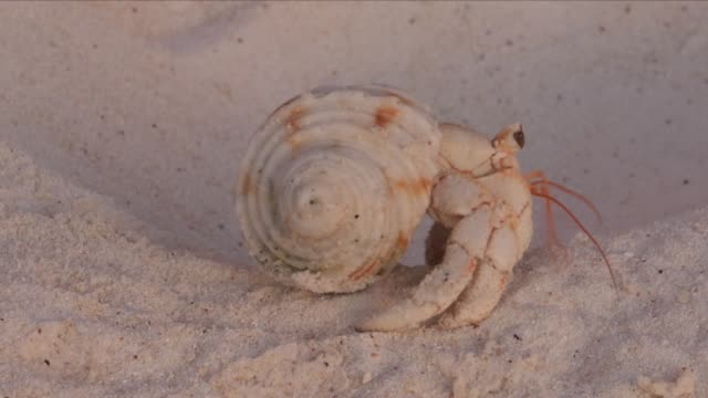 hermit crab on a beach - hermit crab stock videos & royalty-free footage