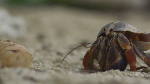 hermit crab on beach, belize - crab stock videos & royalty-free footage