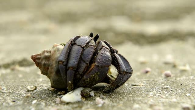 vídeos de stock e filmes b-roll de bernardo-eremita na praia de areia. - organismo aquático