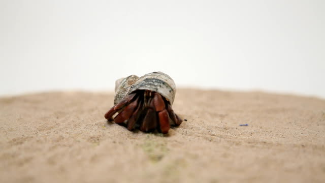 hermit crab on sand with white background - hermit crab stock videos & royalty-free footage