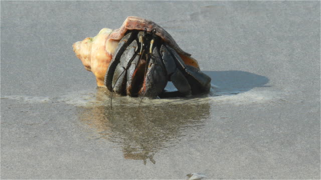 stockvideo's en b-roll-footage met hermit crab on the beach - schild lichaamsdeel van dieren