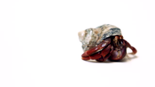 hermit crab on white background - hermit crab stock videos & royalty-free footage