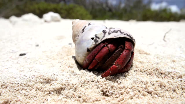 hermit crab retreating - animal shell stock videos & royalty-free footage