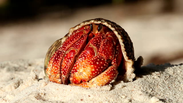 a hermit crab rises up out of its shell on a beach. - hermit crab stock videos & royalty-free footage