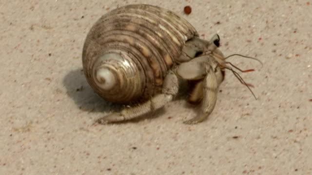 a hermit crab scuttles across a beach. - animal shell stock videos & royalty-free footage